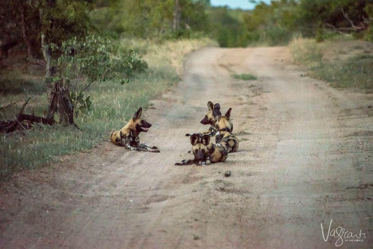 Africa on Foot Walking Safari. Wild dogs in the bush