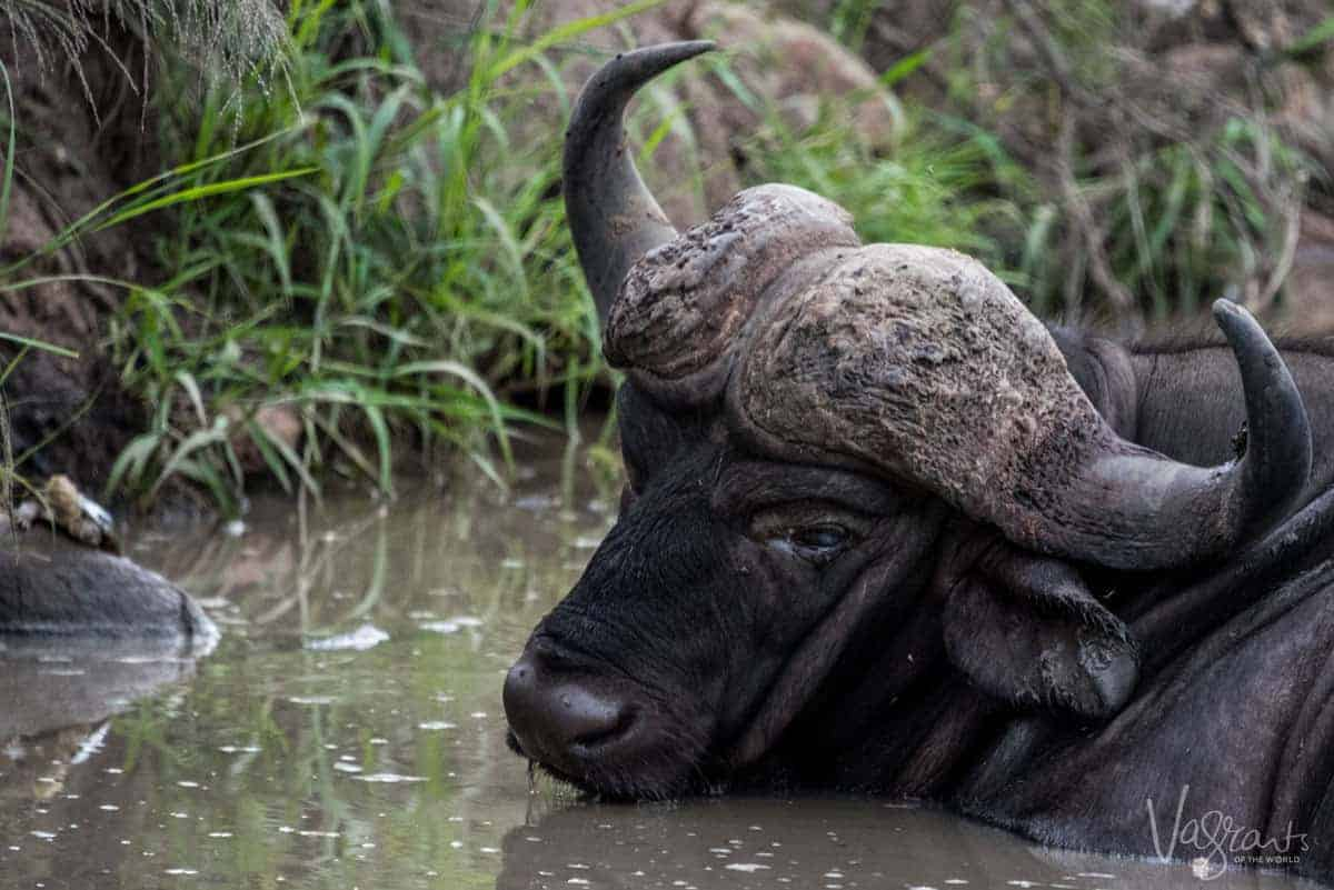 Buffalo in a creek - Kruger National Park