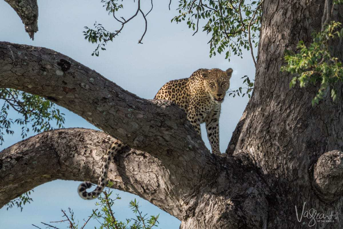 Animals in Kruger National Park - Leopard in Tree