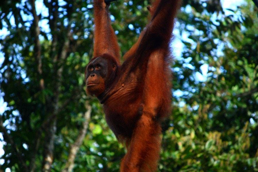 Orang utan's -Semengoh,Borneo