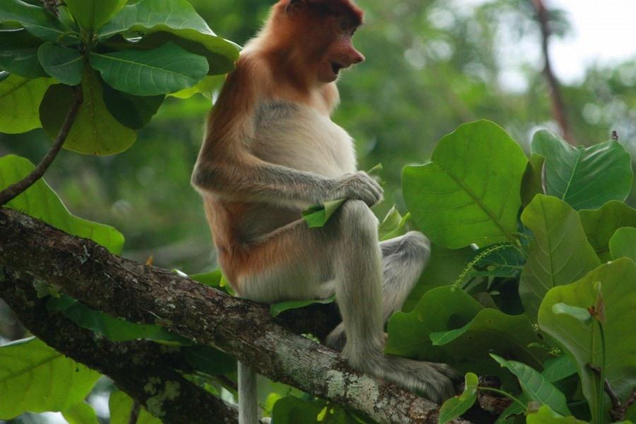 Proboscis Monkey- Bako National Park, Borneo